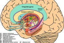 Brain&Anatomy