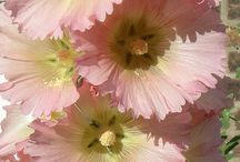 ALCEA (Hollyhocks) / Alcea, commonly known as hollyhocks, is a genus of about 60 species of flowering plants in the mallow family Malvaceae. They are native to Asia and Europe. Wikipedia