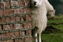 sheep / by Autumn Joiner