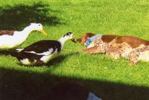 Ancona Ducks