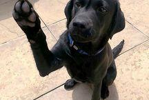 Black Labrador9
