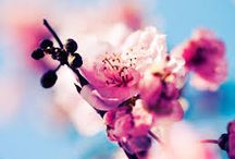 Sakura Blossoming