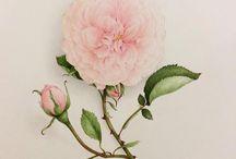 Old roses. Roses anciennes. / Botanical Watercolors. Aquarelles botaniques
