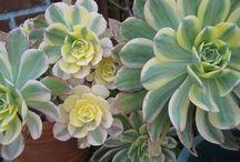Succulents / by Cheryl Fruzzetti