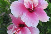 Beautiful Hibiscus Flowers / Photos taken in San Jose Del Cabo some of the wonderful Hibiscus plants growing there