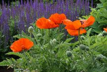 Papaver Combinations / Plant partnerships that include Oriental poppies