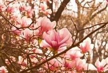 Kukkivia puita