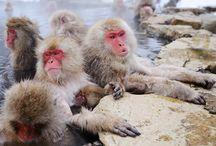 Year of the Monkey / From Japan's Snow Monkeys to Uganda's Gorillas, we've got several itineraries to help you celebrate the Year of the Monkey  http://bit.ly/1nSJL7P