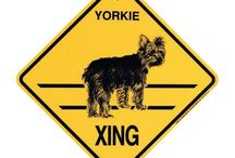 Yorkie My Lil Love / by David Shannon Jenkins