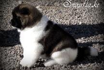 amerikai akita / beautiful dogs