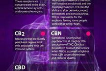 Cbd cannibis oil research / Cancer Research