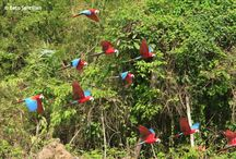 Macaw Clay Lick / A colorful show is the Macaw Clay Lick at Manu Wildlife Center.  One of the natural wonders of Manu, considered the most diverse park in the world. #ikexperiences  Would you like to visit it? =) Here is a small example of what you will see... - -> http://bit.ly/13npoWt