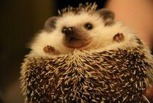 hedgehogs / hedgehogs