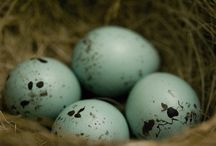 Birds Egg Blue