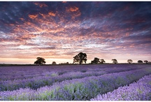 Lavender Lavender! / Culinary, crafting, medicinal herb--everybody's all-thyme favorite