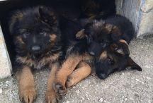 I miei cuccioli / Pastore tedesco