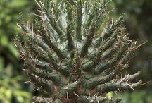 Tanaman cactus