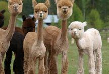 llamas and alapacas for becky! / llamas and alpacas