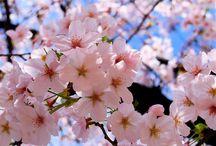 Sakura Lovers / by Belle Marfori