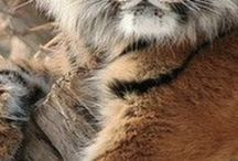 tiger bord