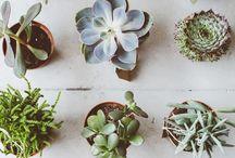 kaktusz-pozsgás-kövirózsa