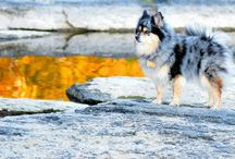 Matinicus - Pomeranian / our blue merle Pomeranian and her adventures through life