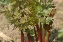 Fűszer és gyógy növények