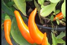 Arancione / Arancione è il colore dello Shaktii Mat original. Perfetto per allontanare mal di schiena, lombalgia, sciatalgia, cervicale. Rilassati e riempiti di energia positiva!
