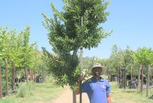 Ilex mitis (Cape Holly) / The Cape Holly is an attractive tree with its red berries and pale-grey bark. It is fairly fast-growing and one of the few indigenous trees that withstands the cold so well. We currently stock 400L of this tree. (Last updated 28 March 2017)