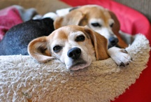 Beagles da Bomb / My first dog was a Beagle...I love everything about the breed! / by Krista Droop Marketing