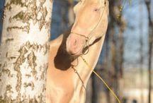 golden horse