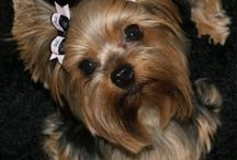 All things yorkie / Cuts and grooming ideas