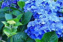 Hortenzie - Hydrangea / Hortenzie - Hydrangea