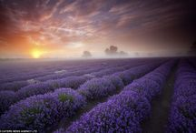All things with Lavender