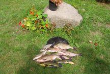 Wędkowanie w Kiermusach / Dla fanów wędkowania i jedzenia ryb mamy bardzo zarybiony staw, starorzecze i główny nurt Narwi czyli od poziomu dla początkujących do zaawansowanych :)