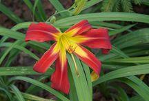 Liliowce, Daylilies, Hemerocallis