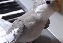 Pet cockatiels