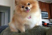 Spitz - Pomeranian
