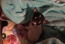 Riley / Chihuahua