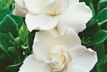Flowers gardenia