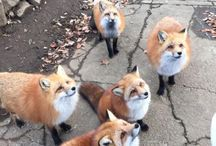 Foxes <3