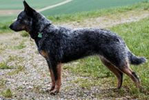 Australian Cattle Dog / Australian Cattle Dog breed pictures