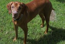 CWVRG: Permanent Fosters / Photos of some of our Vizslas in permanent foster care. These usually are Vizslas who have serious health issues, age, and/or behavioral issues that make them very hard to adopt.
