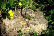 """Πράσινη Σαύρα - """"Σκουρκουρίτσα"""" / Green Lizard - """"Skourkouritsa"""""""