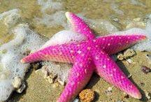 Deniz yıldızı-deniz atı