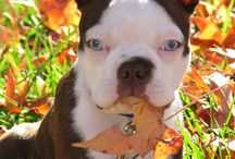 Our Boston Terriers / Peso, Lira and now their baby Jack along with any and all Boston Terriers that we love!