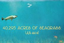 Seagrasses: Underwater Pastures in Tampa Bay