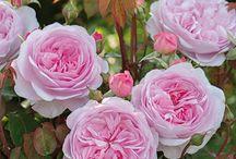 [F] Roses
