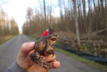 Action to help amphibians during spring migrations
