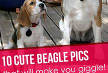 perritos beagles